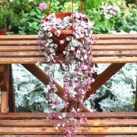 Aulan Egrow 100Pcs/Bag Ceropegia Succulent Seeds Garden Indoor Rare