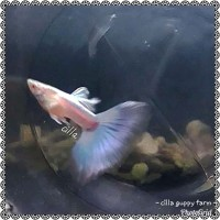 ikan guppy albino topas