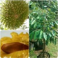 bibit buah durian kaki 10 Musang King bawor montong kaki sepuluh super