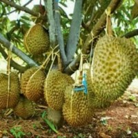 Bibit Tanaman buah durian montong super jumbo