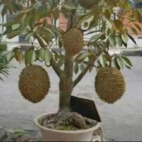 bibit buah durian montong bisa berbuah dalam pot(bisa tabulampot)
