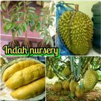 bibit buah durian montong kaki 10 jaminan cepat berbuah