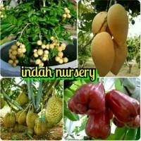 paket 4 bibit buah jambu madu merah-mangga-kelengkeng-durian super