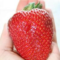 Isi 300 Biji Benih Thailand Big Strawberry Seeds