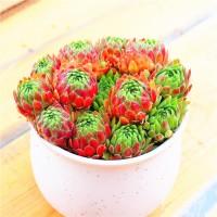Aulan Egrow 100Pcs/Pack Sempervivum Succulent Seeds Home Decoration