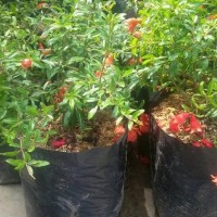 Bibit Tanaman Bahan Bonsai Buah Delima Mini Berbunga B4Ck