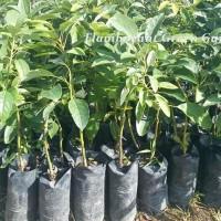 Bibit Pohon Buah Alpukat Hass Super Unggul Harga Promo Paket 3Bibit