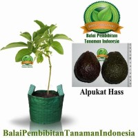 Bibit Alpukat Hass / Bibit Buah / Tanaman Lte