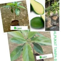 bibit pohon alpukat tanpa biji/buah non biji