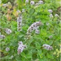 Benih / Bibit Herba Peppermint / Tanaman Daun Mentol / Daun Mint