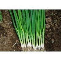 Benih-Bibit Daun Bawang Tokyo Long Bunching (Haira Seed) Berkualitas