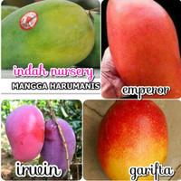 paket 4 jenis bibit buah mangga harum manis Emperor garifta irwin