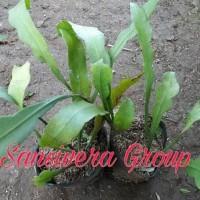 ^^%% bibit kebun sehat tanaman bunga gantung wijaya kusuma