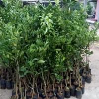 trend 3 bibit tanaman jeruk limau kasturi berbuah