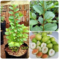 Bibit bidara arab/sidr (tanaman pengusir jin)