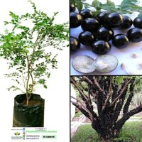 bagus anggur brazil bibit tanaman super bisa dibuat bonsai %