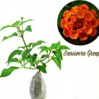 % bibit kebun sehat tanaman bunga lamtana orange / lantana anyar♨
