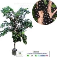$diskon$ anggur brazil bibit tanaman super bisa dibuat bonsai