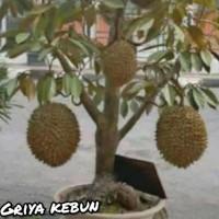 bagus bibit tanaman durian montong dapat berbuah dalam pot/tabulampot