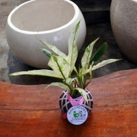 Tanaman hias dalam ruangan KOKEDAMA bunga peace lily variegata