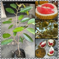benih bibit tanaman buah durian montong merah