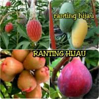 paket 4 jenis bibit mangga chokanan-yuwen-buah tin-jambu kingrose o
