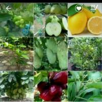 bibit mangga buah lapan jenis grab it fast