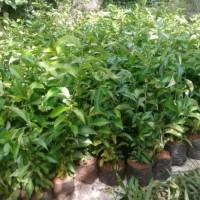 tanaman hias untuk pagar pohon teh tehan