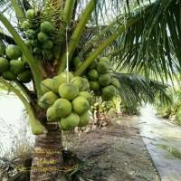 Bibit kelapa wulung / kelapa hijau wulung / kelapa ijo asli 1000%