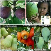 Promo 5 Bibit buah Tin ungu Mangga kiojai jambu mede Mangga Madu Ja