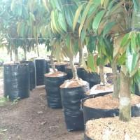 Pohon durian montong bonggol besar(siap berbuah)