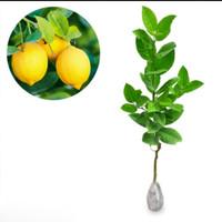 Bibit Jeruk Lemon Tea Pohon Jeruk Lemon Tea Bibit Tanaman Jeruk Lemon
