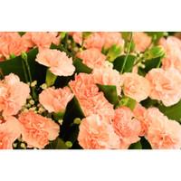 25 Biji-Benih Bunga Carnation-Anyelir- William Dianthus- Kebun Rumah