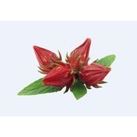 Benih Bunga Rosella -10 Biji-Kebun Rumah