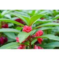 15 Biji-Benih Bunga Rosebalsam-Pacar air-Kebun Rumah