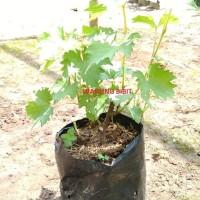 Bibit Tanaman Anggur Rambat Asal Stek Batang