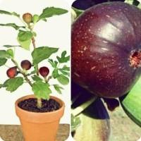 Bibit tanaman buah tin ara brown turki .
