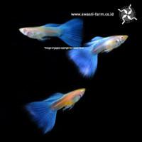 Ikan Hias Guppy Gappy Sky Blue Topaz Albino Garansi