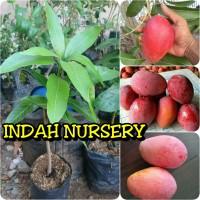 bibit buah mangga garifta