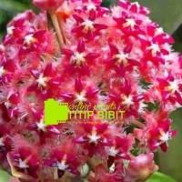 Tanaman merambat Hoya Merah