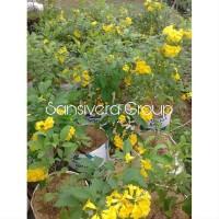 Flash Sale Terlaris Bibit Kebun Sehat Tanaman Hias Bunga Tekomaria