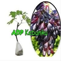 gpr Bibit Tanaman Buah Anggur Import Souvenir p0n