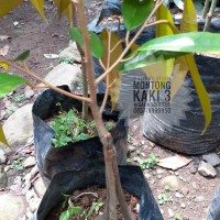 Bibit Durian Montong kaki 3