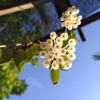Tanaman Hias Gantung Hoya Lacunosa bunga harum semerbak
