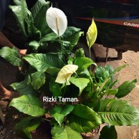 Tanaman indoor Peace lily besar