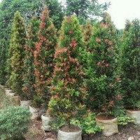 tanaman hias pucuk merahtinggi 2meterpohon pagar pucuk merah
