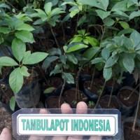 Bibit Tanaman Pohon Buah Alpukat Miki Hasil Okulasi Bibit Alpukat Miki