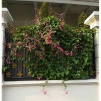 tanaman rambat air mata pengantin bunga pink bibit