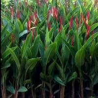tanaman hias Heliconia