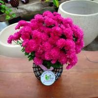 KOKEDAMA bunga krisan ungu super jumbo TANAMAN HIAS DI DALAM RUANGAN